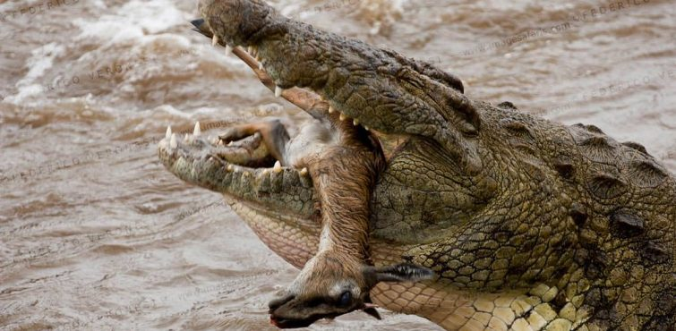 Nile Crocodile swallowing female Thomson's Gazelle in the Mara river in Masai Mara NR